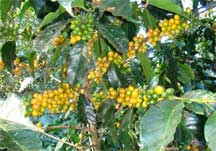 Bolivia Caranavi Coffee Berries